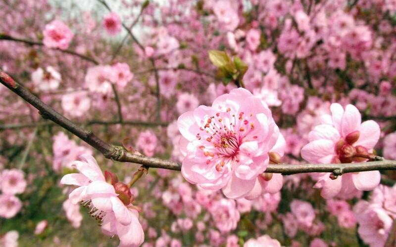 Shanghai Peach Blossom Festival