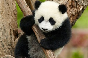 join in a baby panda volunteer to hold a baby panda