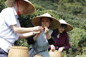 China Highlights customers picking tea in Hangzhou