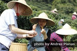 Picking tea in Hangzhou
