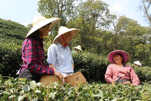 pick tea leaves with local people