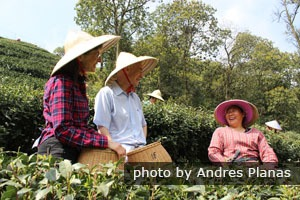 Hangzhou tea plantation