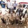 Livestock Bazaar