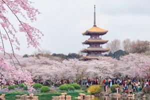 Wuhan East Lake Park cherry trees