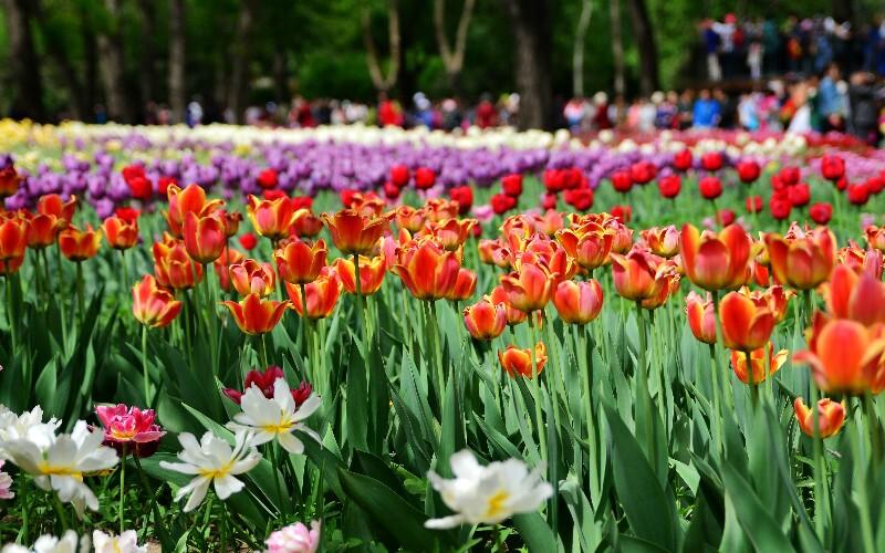 Jinzhan Tulip Garden