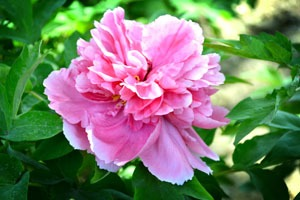 peonies, a lucky flower for Chinese New Year