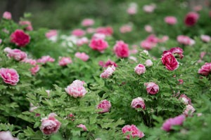 Luoyang National Peony Garden Famous Luoyang Attractions
