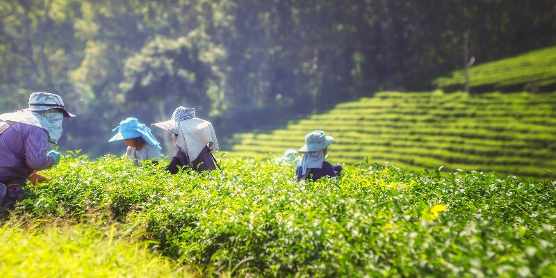 Experience picking tea leaves