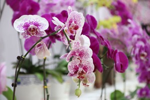 Orchids, a lucky flower for Chinese New year