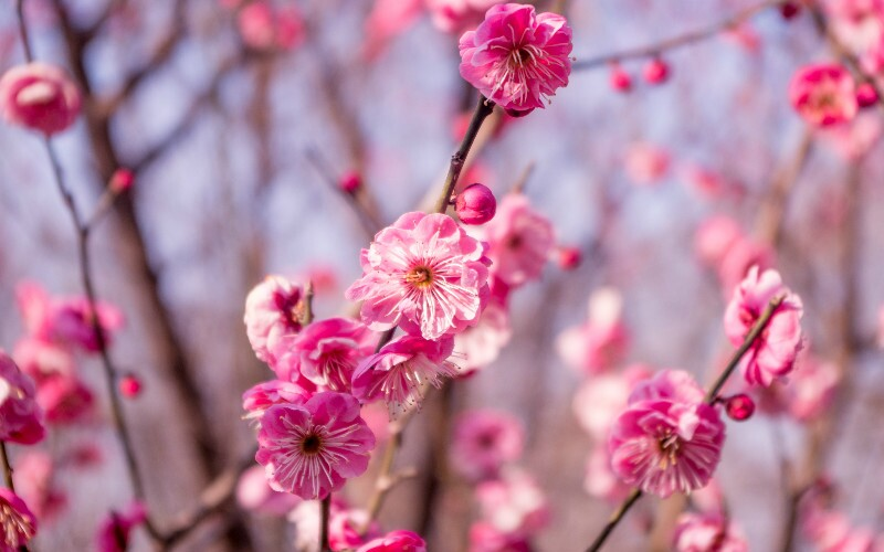 When and Where to See Flowers in China
