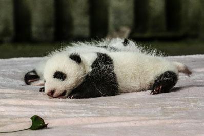 panda piccolo