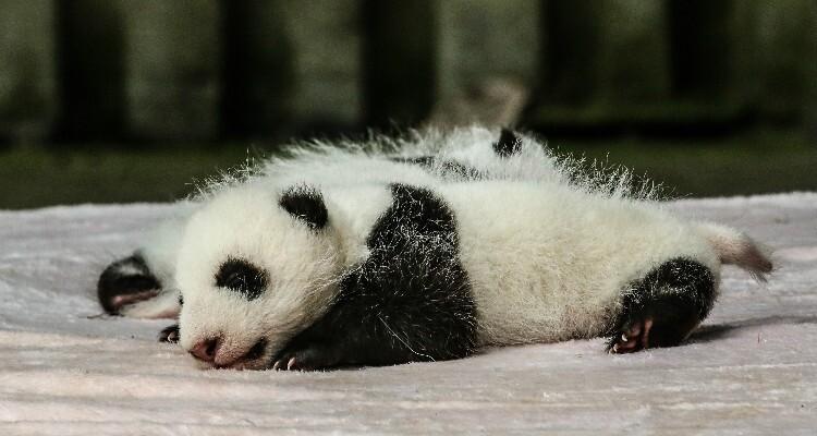 newly born panda baby