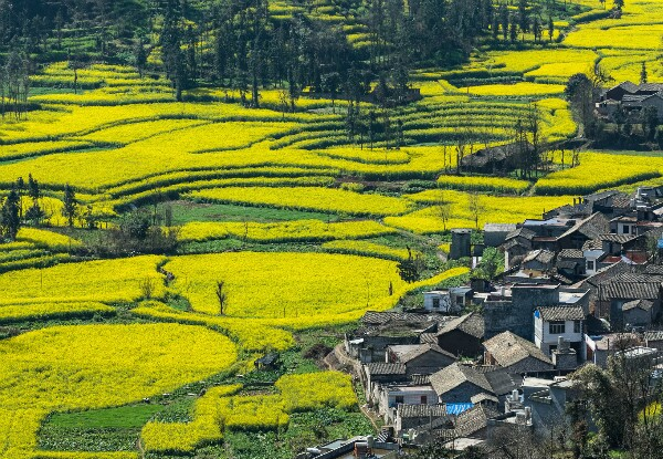 Luoping yellow flowers