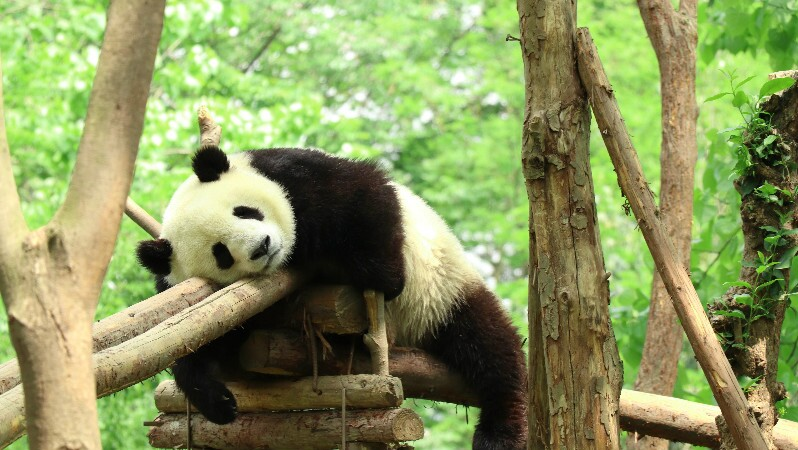 Chengdu,the hometown of giant pandas