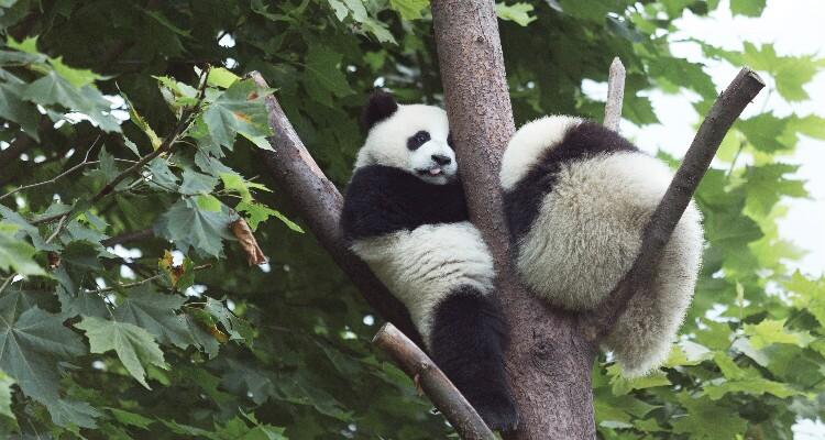 a panda climbing the tree