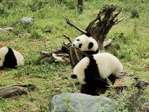 see panda in chengdu in february