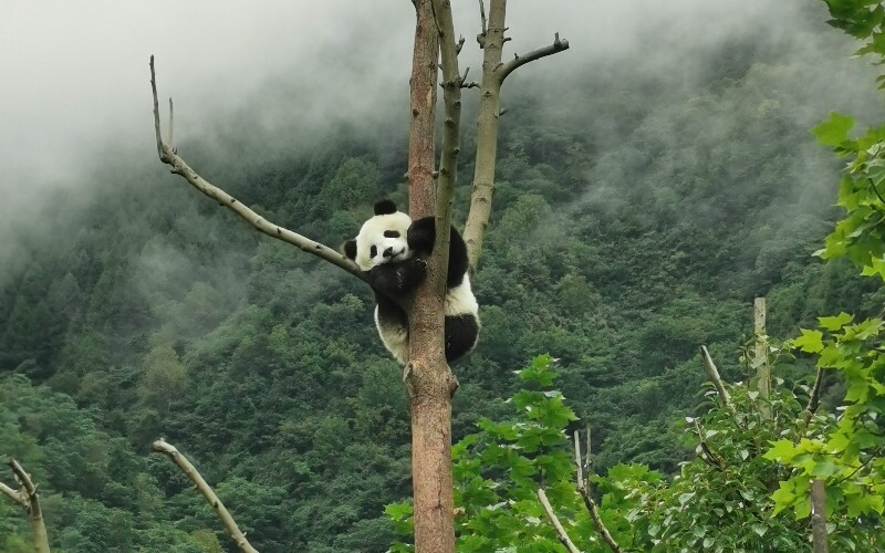 Red Pandas vs Giant Pandas: Differences and Similarities