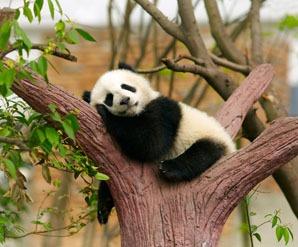 hold a baby panda