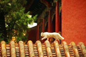 a cat in the forbidden city
