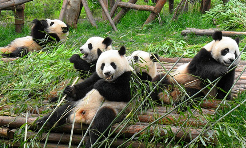 The Top 4 Places to See Giant Pandas in China
