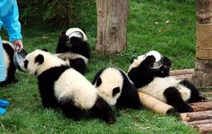 去成都熊猫基地看大熊猫