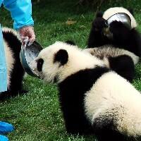 Rencontre avec un groupe de bébés pandas de la taille d'un labrador