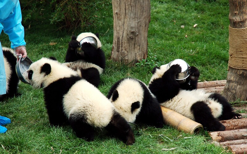 FAQs about Giant Pandas, Giant Panda Questions and Answers