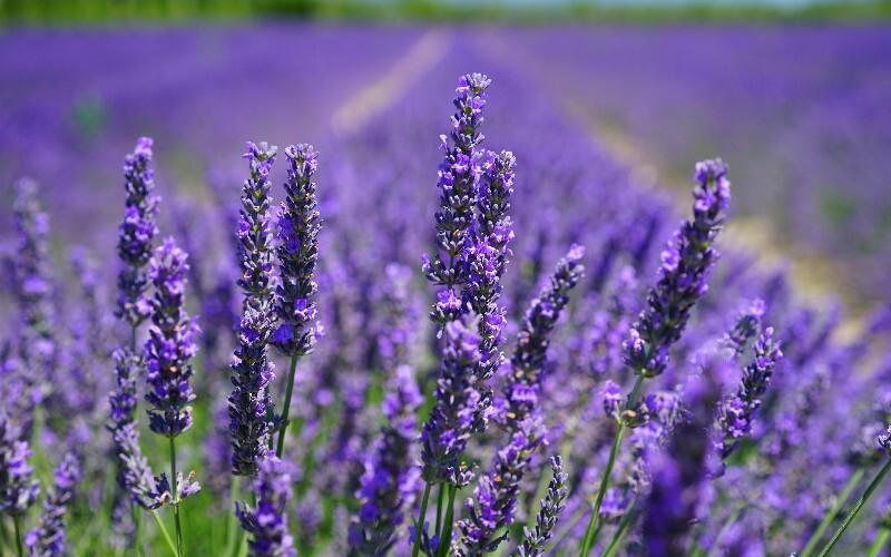 Huocheng County Lavender Planting Base