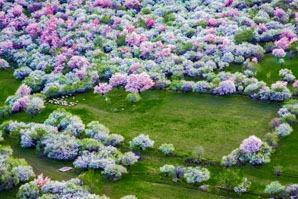 A sea of flowers in Yili, Xinjiang province