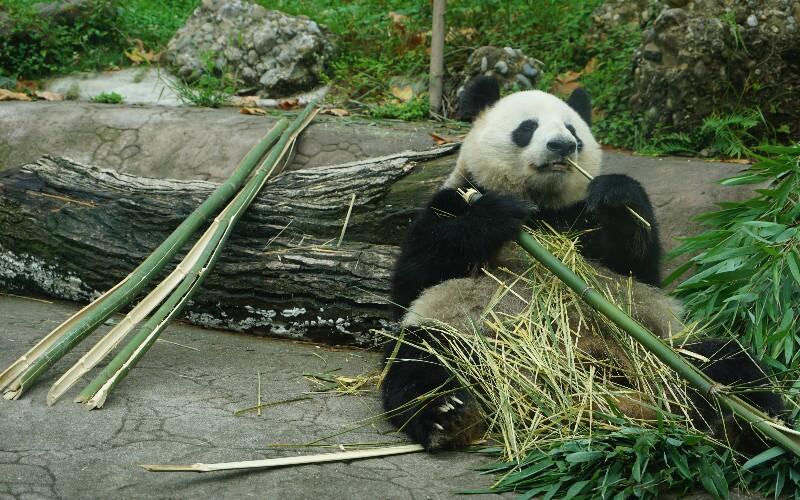 Giant Panda Captive Breeding