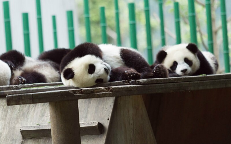 Baby Pandas: Top 10 Surprising Facts You Didn't Know