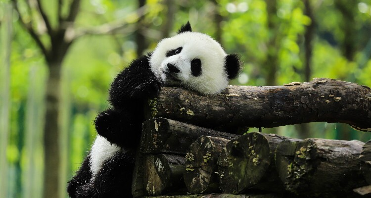 an adorable panda in the forest