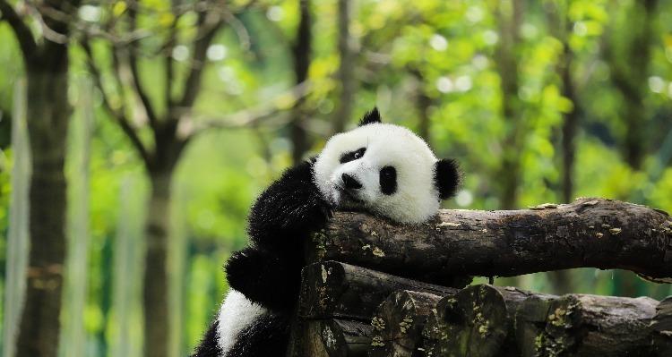 A cute panda, Chengdu