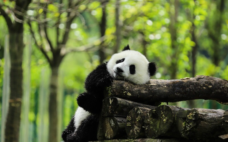 The Best 7 Animals to See in China and Where to See Them
