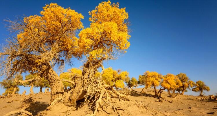 the poplar forests in desert