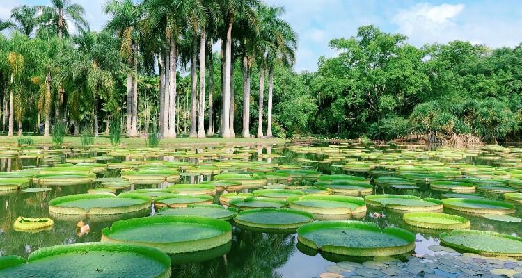 the king lotus on the lake