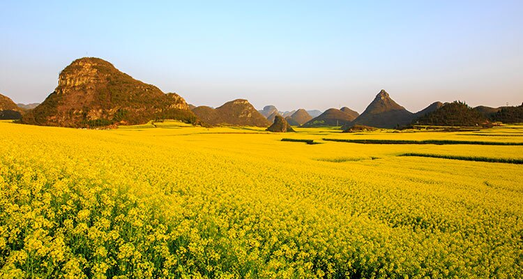 luoping Jinji Hill yellow flowers