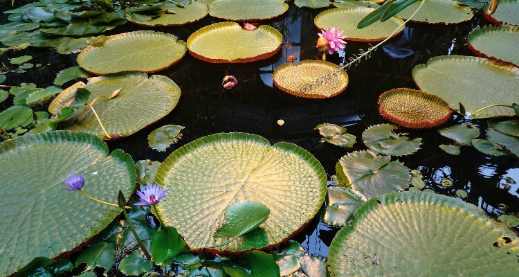 TheLotus Pond