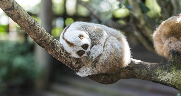 a lazy loris sleeping in the tree