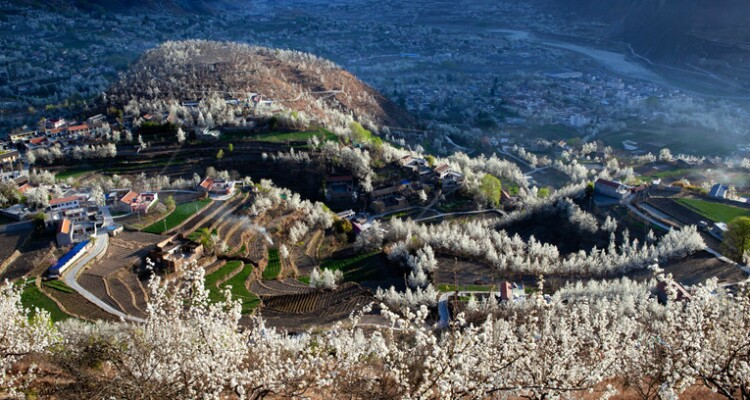 Jinchuan Valley's pear flowers