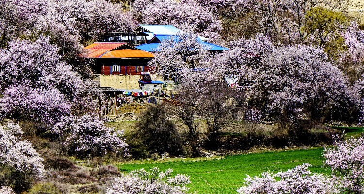 Tibetan houses in the pink peach flowers