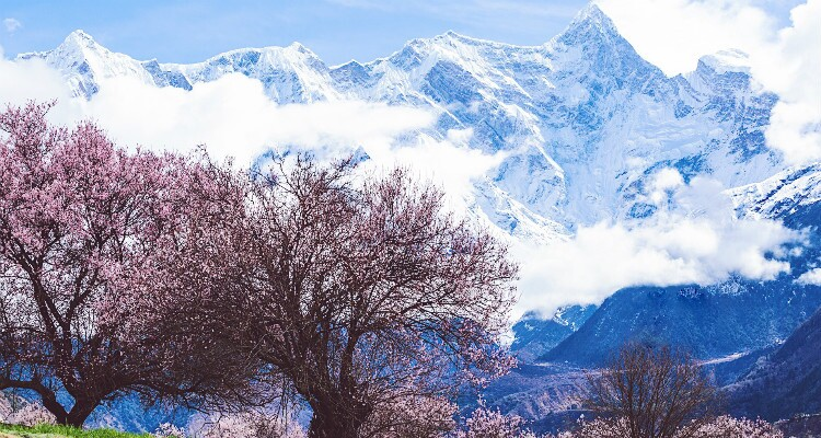 pink peach blossoms and snow mountain