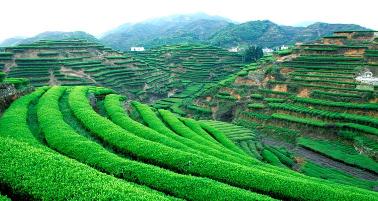 Quanzhou Anxi Tea Garden