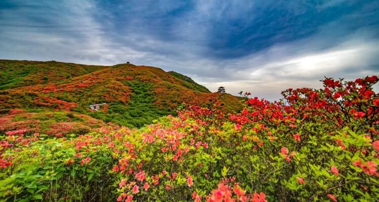 Bipeng Valley's azaleas