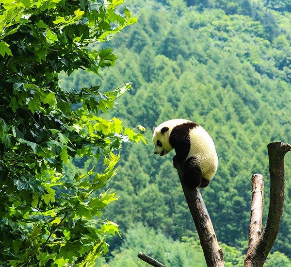 2-Day Wolong Panda Volunteer Program Tour