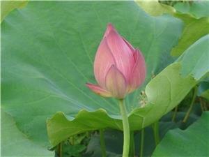 Xindu Lotus Festival
