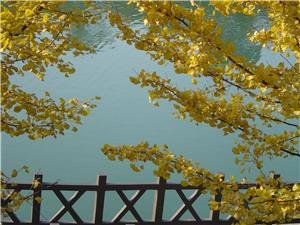 6 Best places in Beijing Suburbs for the Golden Ginkgoes