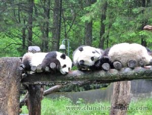 Giant Pandas in Chengdu Breeding and Research Center