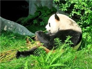 panda breeding and research centre  delicious