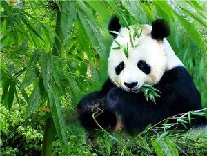 Chengdu Panda Breeding and Research Centre